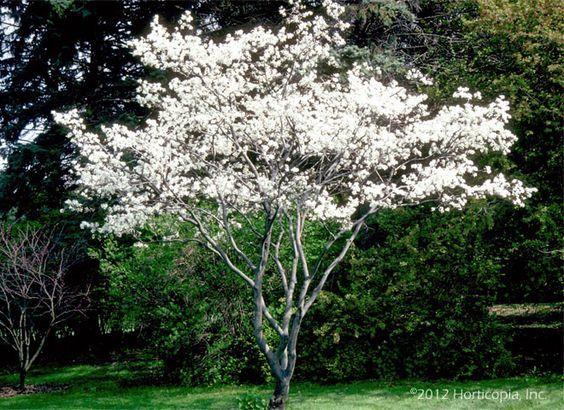Amelanchier lamarckii (Świdośliwa) kwitnienie