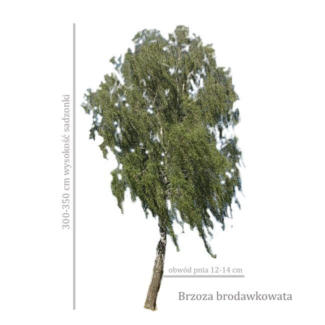 Brzoza brodawkowata (Betula pendula) duże sadzonki drzew, obwód 12-14