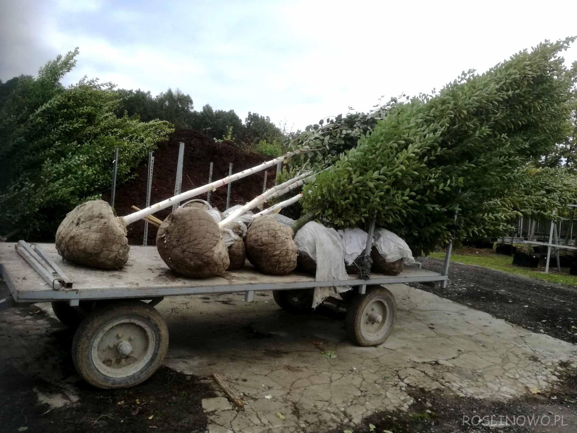 Sadzonki kopane z gruntu - brzozy pożytecznej 'Doorenbos'