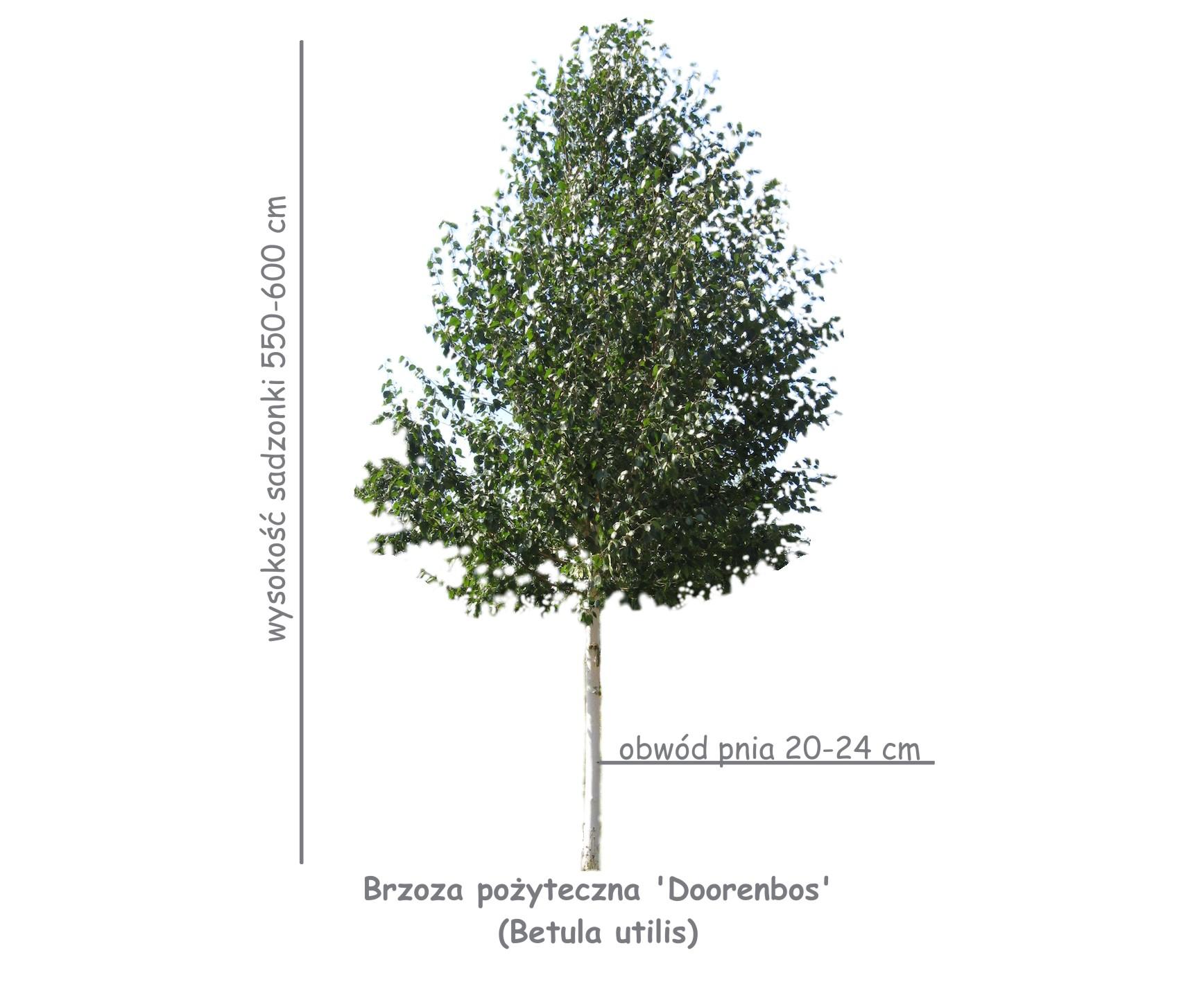 Brzoza pożyteczna 'Doorenbos' (Betula utilis) sadzonka o obwodzie 20-24 cm