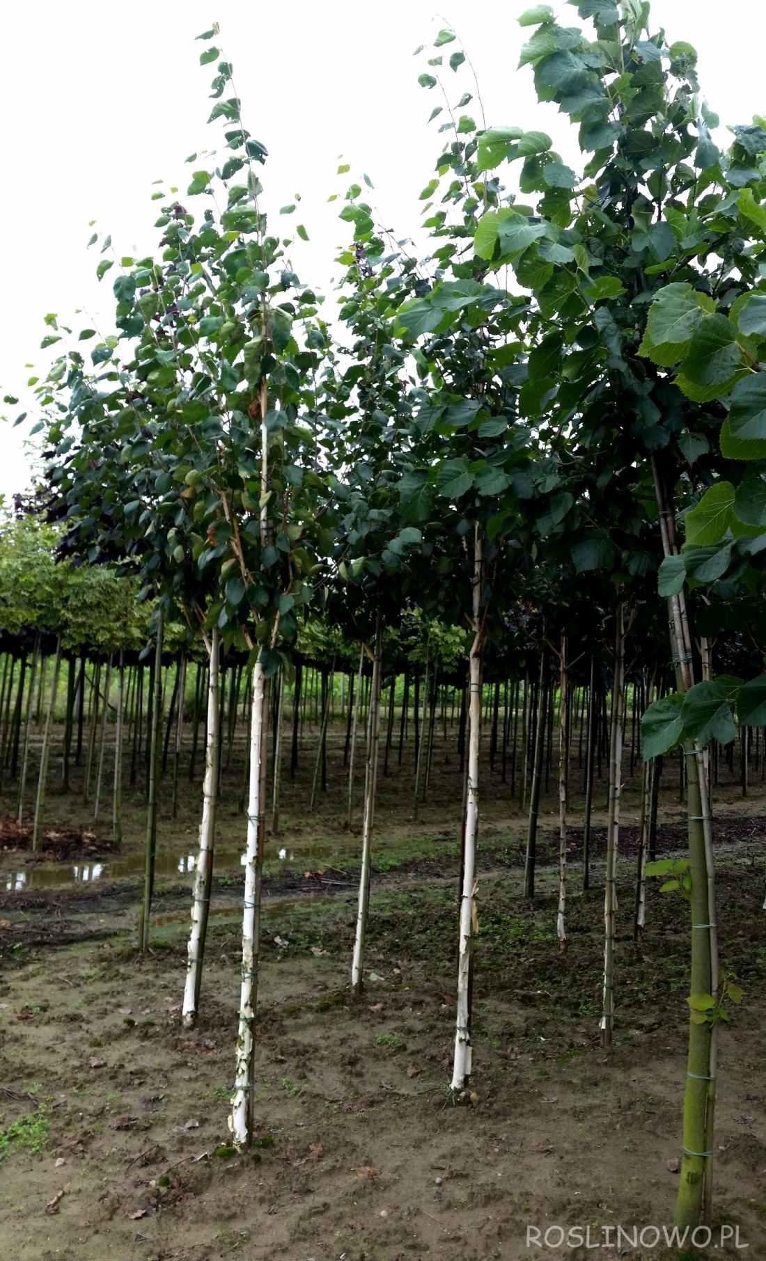 Brzoza pożyteczna 'Doorenbos' szkółkowane sadzonki w gruncie.