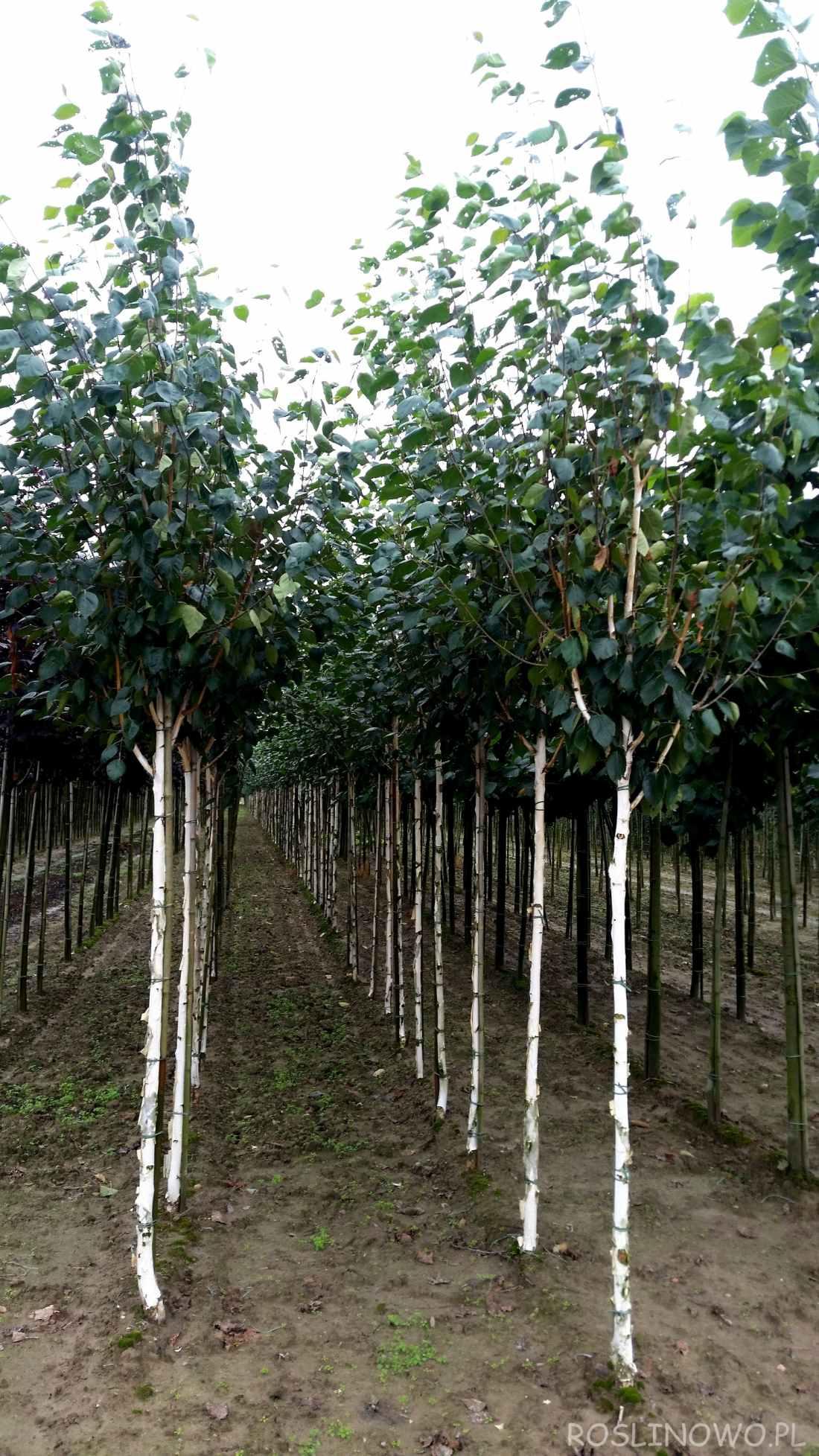 Brzoza pożyteczna 'Doorenbos' sadzonki w szkółce drzew