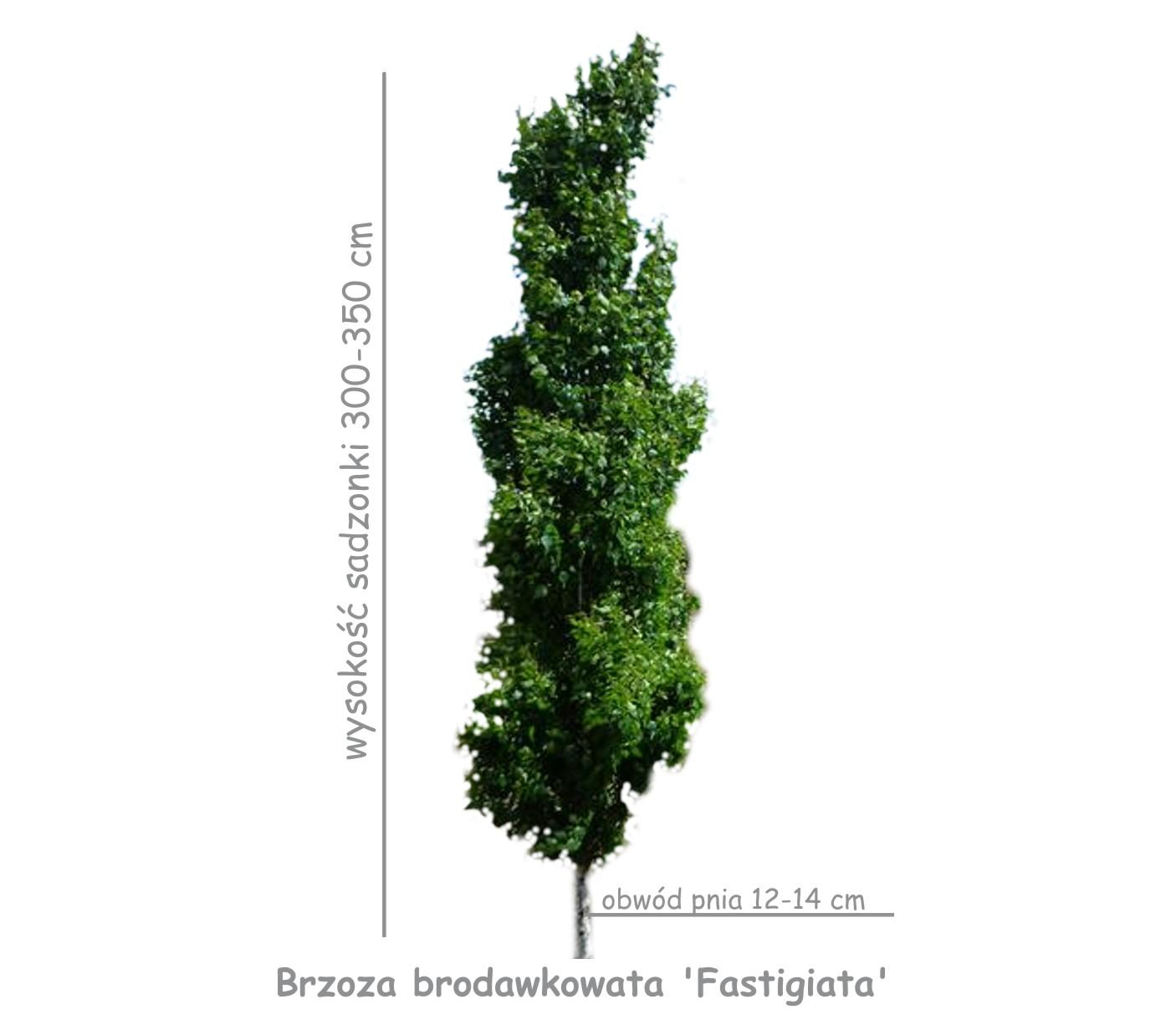 Brzoza brodawkowata 'Fastigiata' (Betula pendula) obwód pnia 12-14 cm.