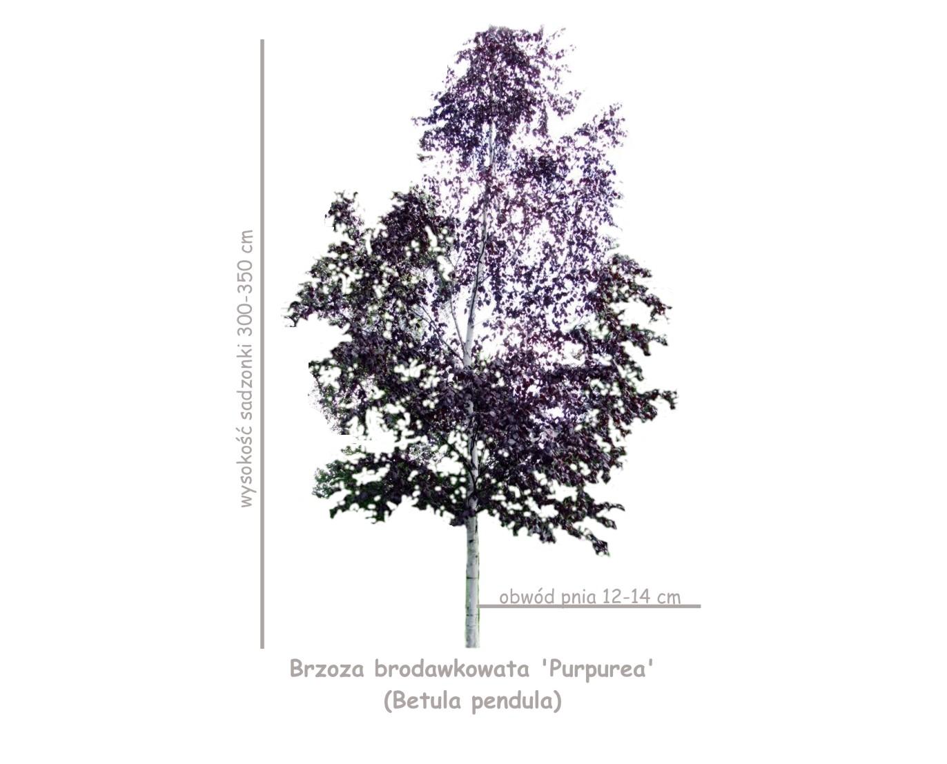 Brzoza brodawkowata 'Purpurea' (Betula pendula) obwód pnia 12-14 cm.