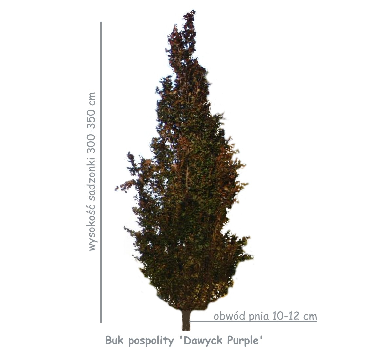 Buk pospolity 'Dawyck Purple' (Fagus sylvatica) sadzonka o obwodzie pnia 10-12 cm
