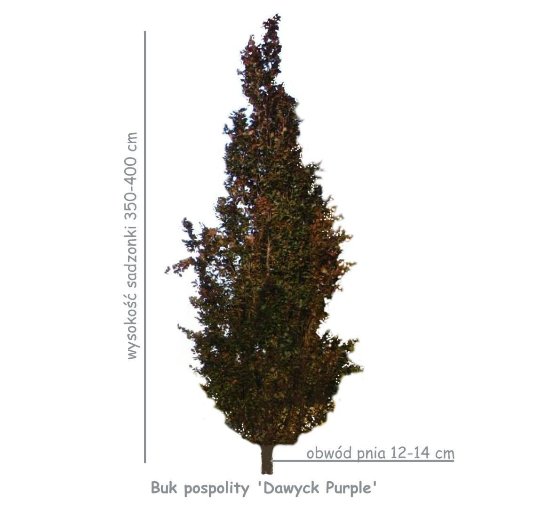 Buk pospolity 'Dawyck Purple' (Fagus sylvatica) sadzonka o obwodzie pnia 12-14 cm