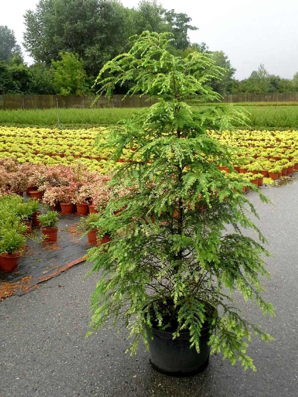 Choina kanadyjska Tsuga canadensis sadzonka 150-180 cm