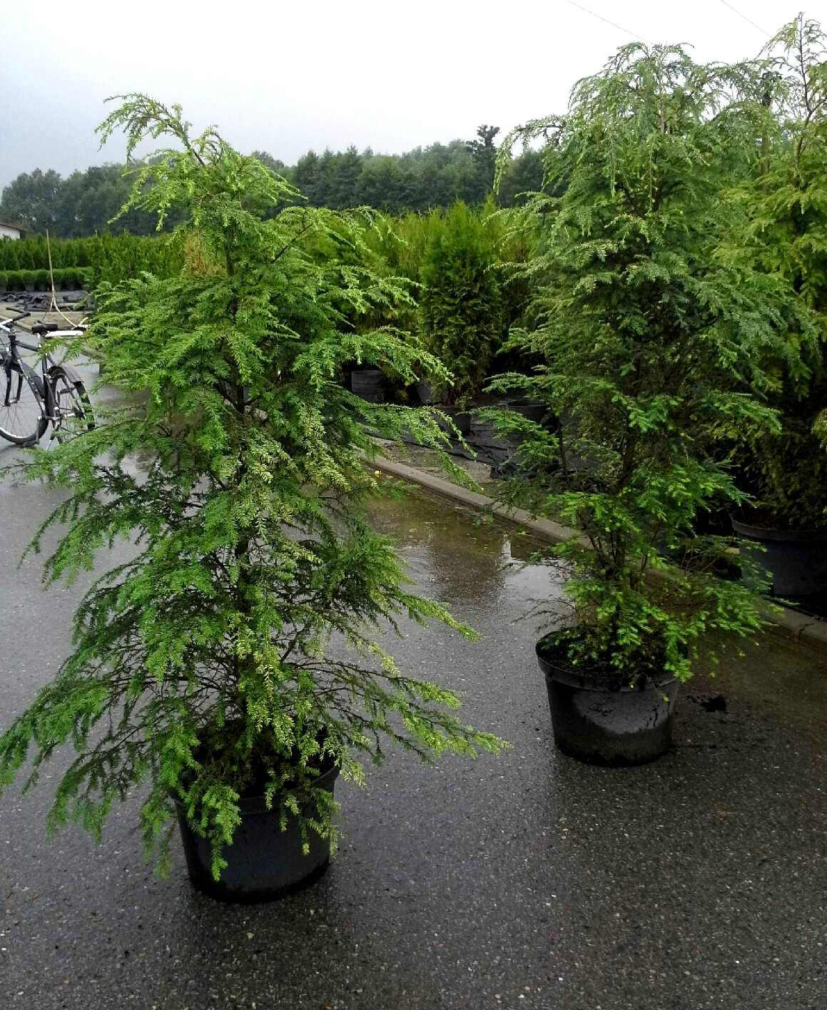 Choina kanadyjska (Tsuga canadensis) sadzonka w pojemniku 150-180 cm wys.