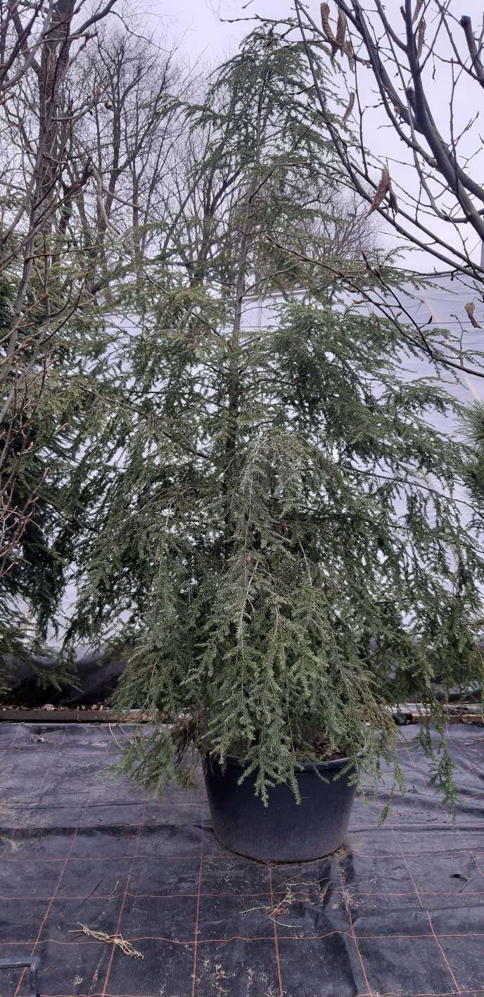 Choina kanadyjska, sadzonka o wysokości 250-300 cm