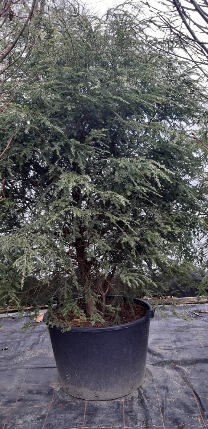 Choina kanadyjska 250-300 cm wysokości