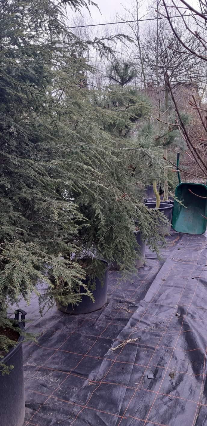 Choina kanadyjska duże sadzonki o wys. 250-300 cm