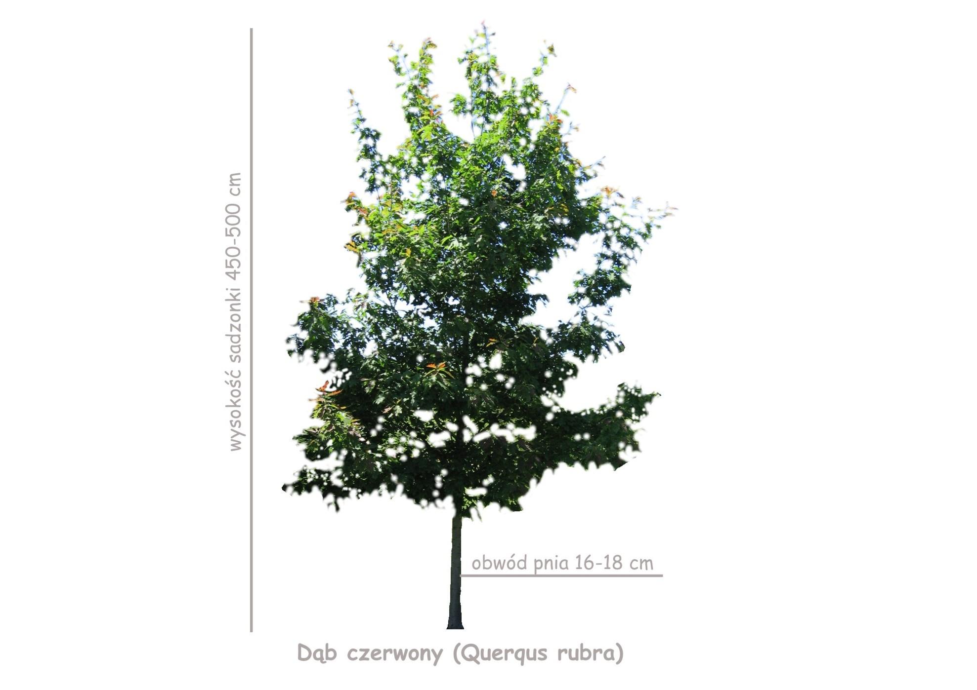 Dąb czerwony (Querqus rubra) sadzonka o obwodzie 16-18 cm, wysokości 450-500 cm