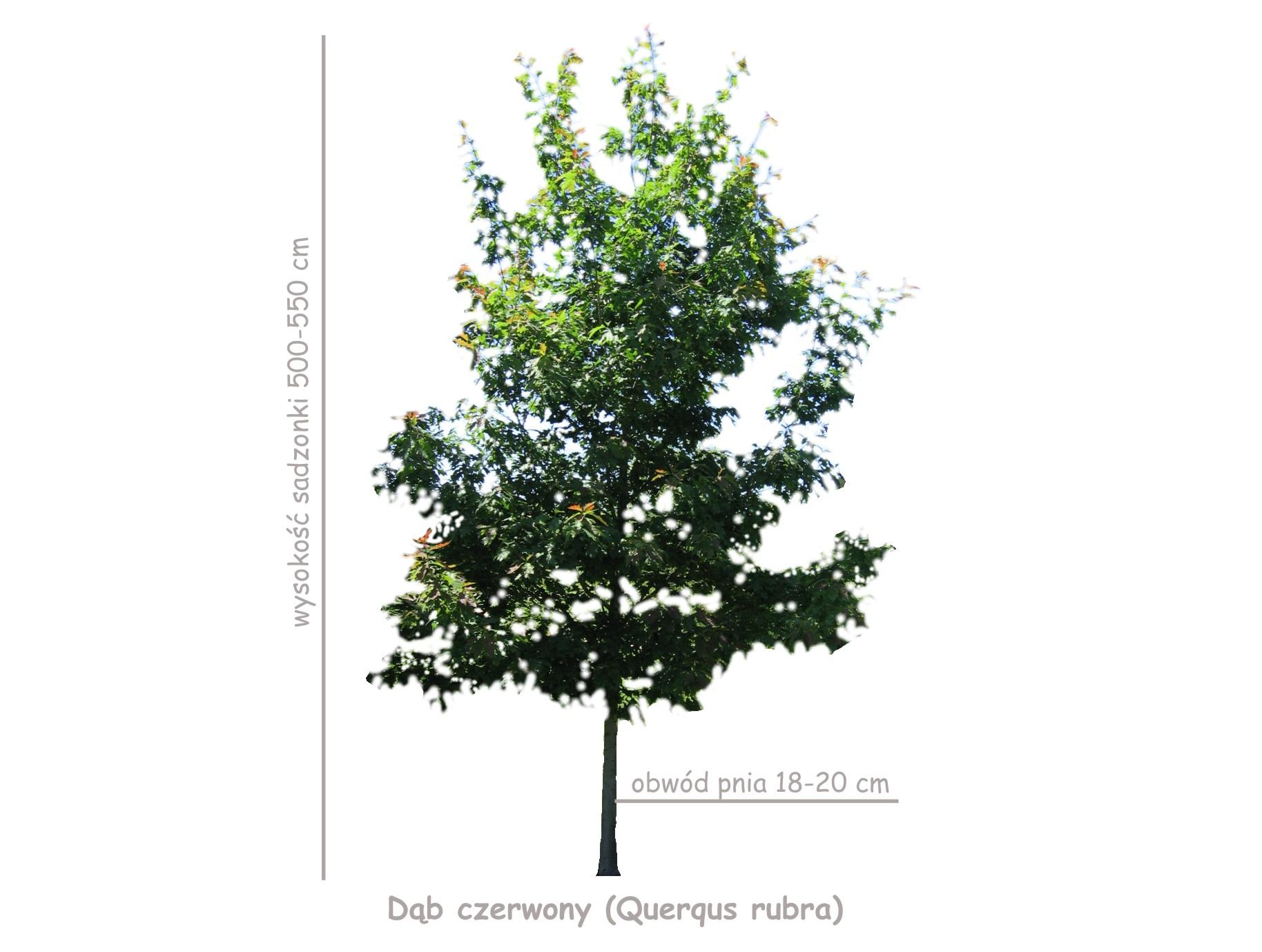 Dąb czerwony (Querqus rubra) sadzonka o obwodzie 18-20 cm, wysokość 500-550 cm.