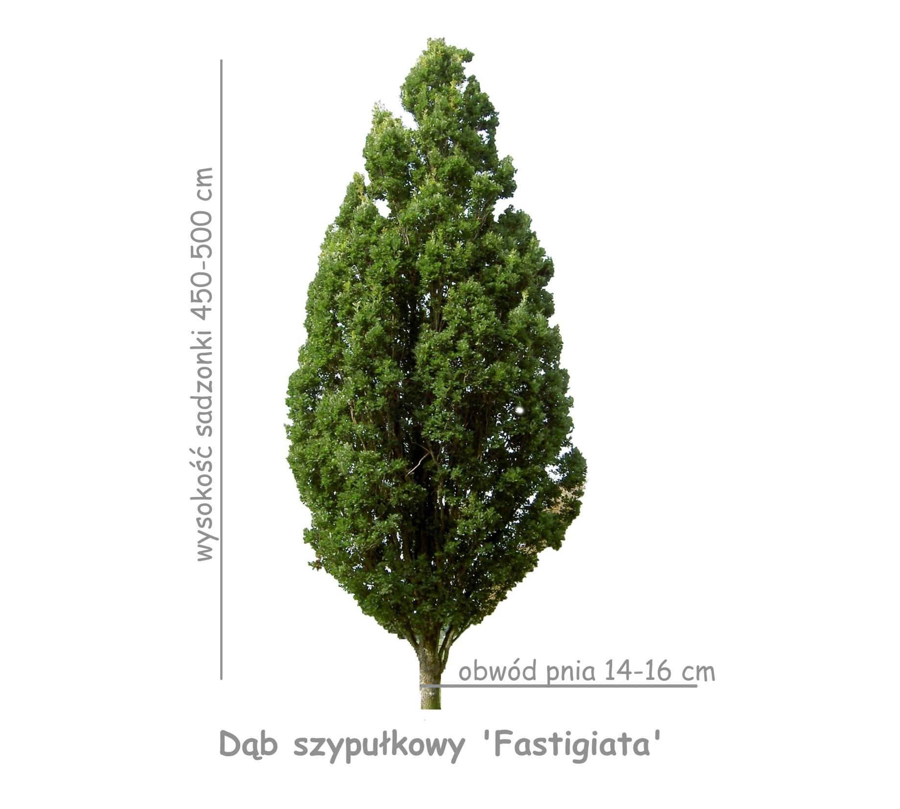 Dąb szypułkowy 'Fastigiata' sadzonka o obwodzie pnia 14-16 cm