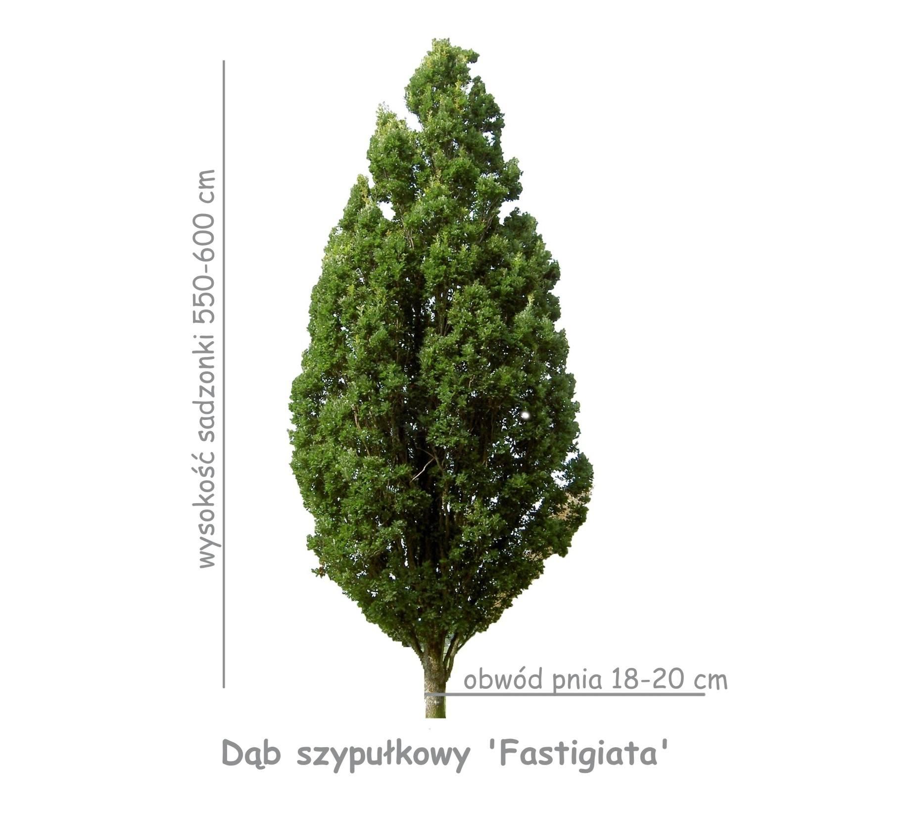 Dąb szypułkowy 'Fastigiata' sadzonka o obwodzie pnia 18-20 cm.
