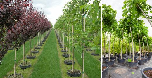 Sadzonki dużych drzew w pojemnikach (wysokie sadzonki).