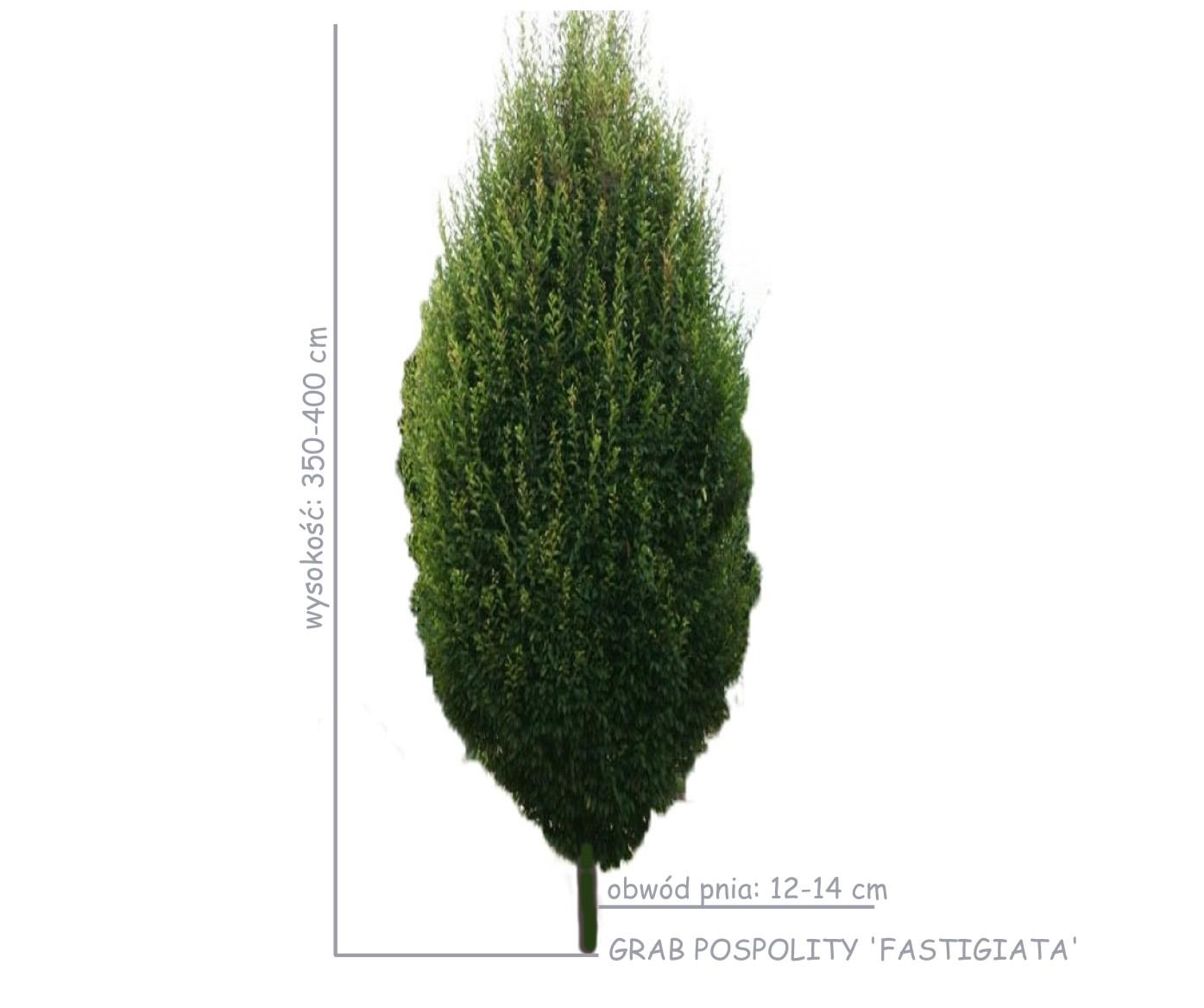 duże sadzonki grabu pospolitego Fastigiata o obwodzie 12-14 cm