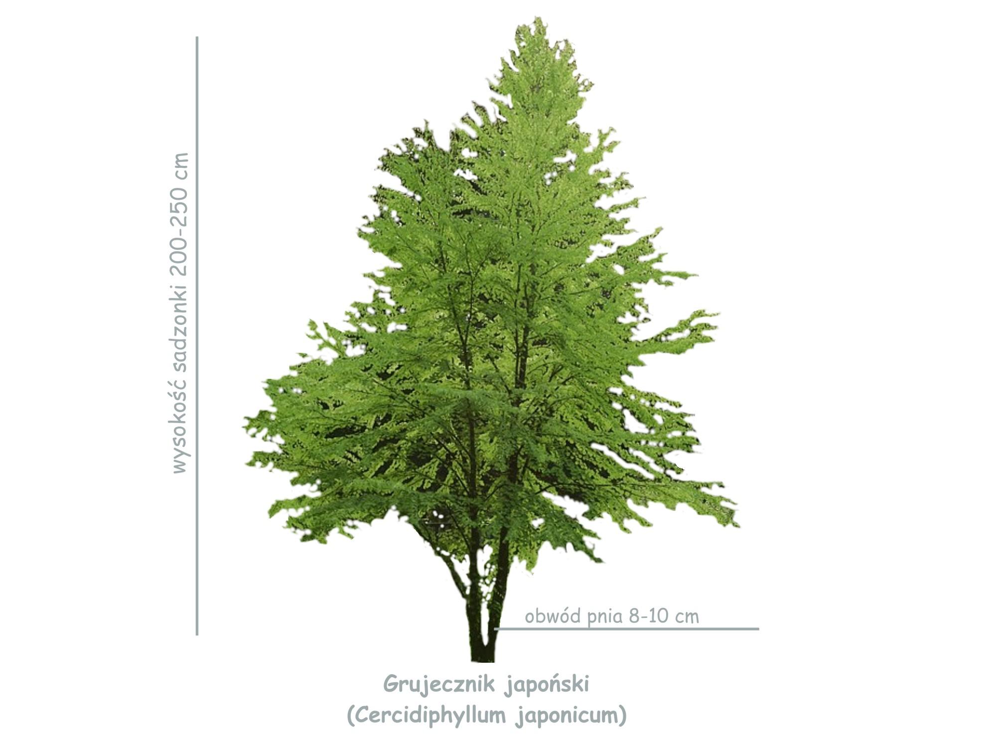 Grujecznik japońska (Cercidiphyllum japonicum) sadzonka o obwodzie 8-10 cm
