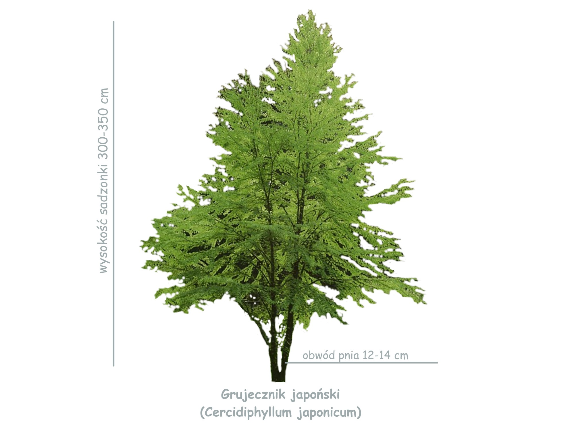 Grujecznik japońska (Cercidiphyllum japonicum) sadzonka o obwodzie 12-14 cm
