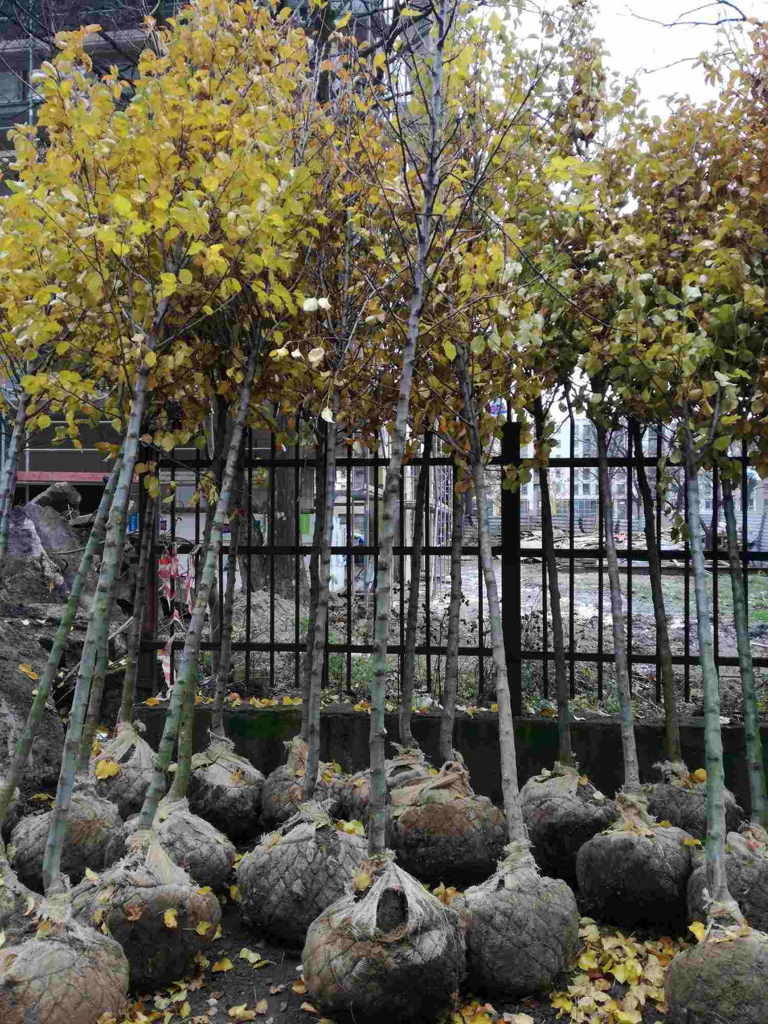 Sadzonki z bryła korzeniową gruszy Chanticleer