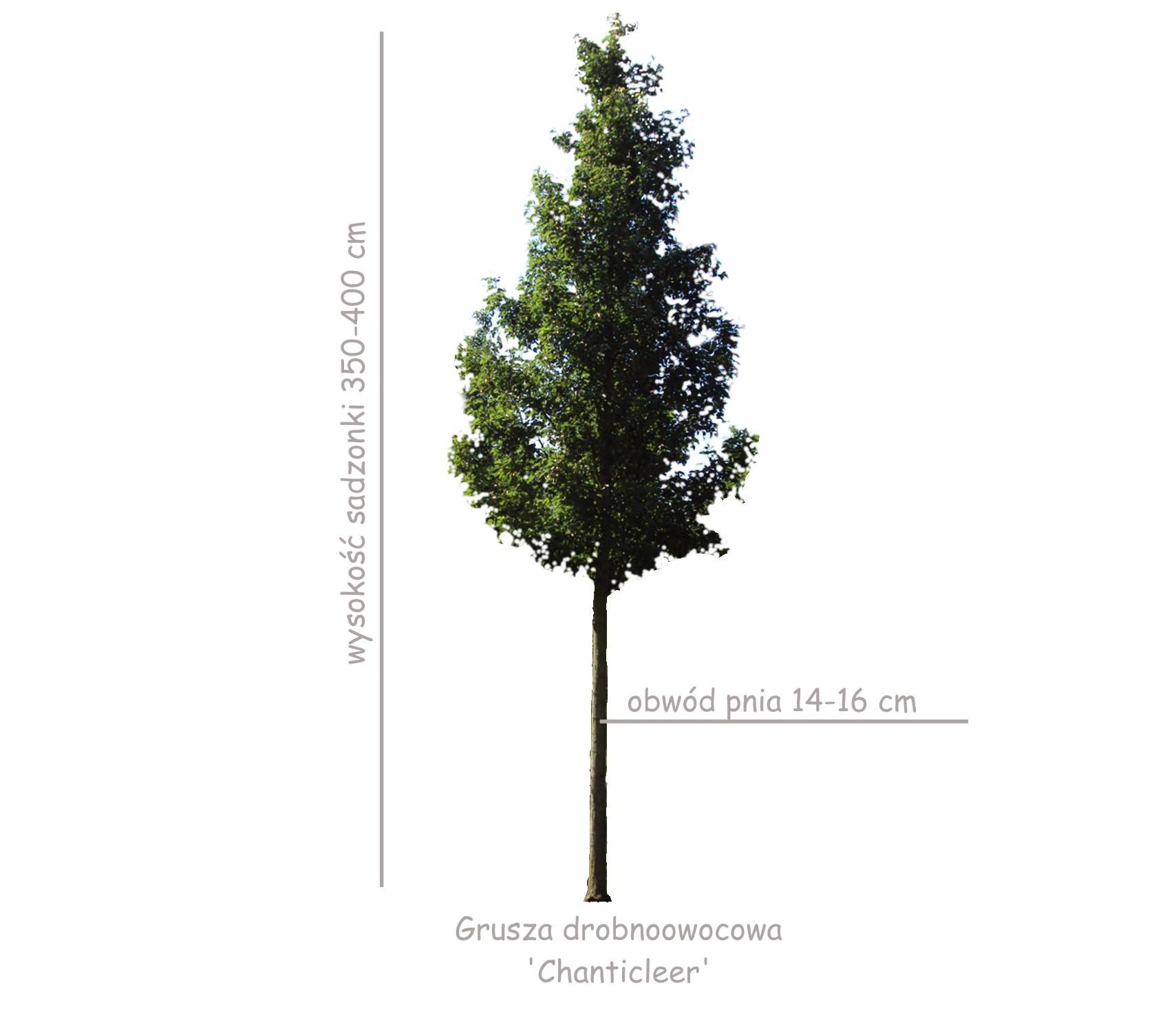 Grusza drobnoowocowa 'Chanticleer' duża sadzonka o wysokości 350-400 cm, obwód pnia 14-16 cm