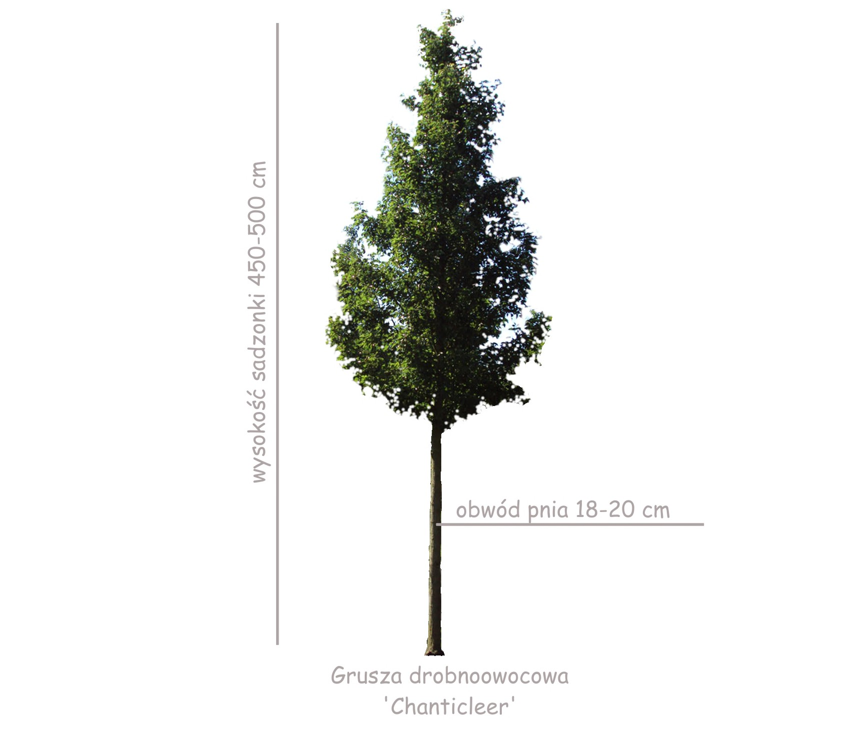 Grusza drobnoowocowa 'Chanticleer' duża sadzonka, obwód pnia 18-20 cm.