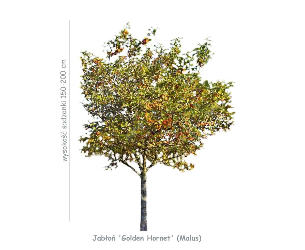 Jabłoń 'Golden Hornet' (Malus) sadzonka o wysokości 150-200 cm