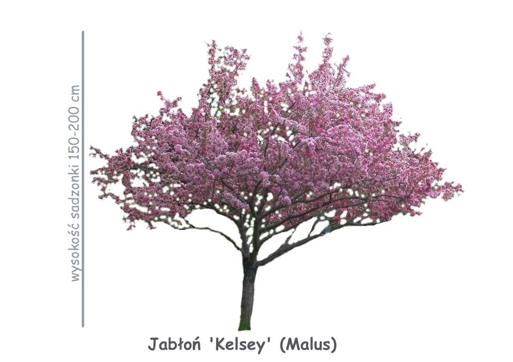 Jabłoń Kelsey (Malus) sadzonka o wysokości 150-200 cm