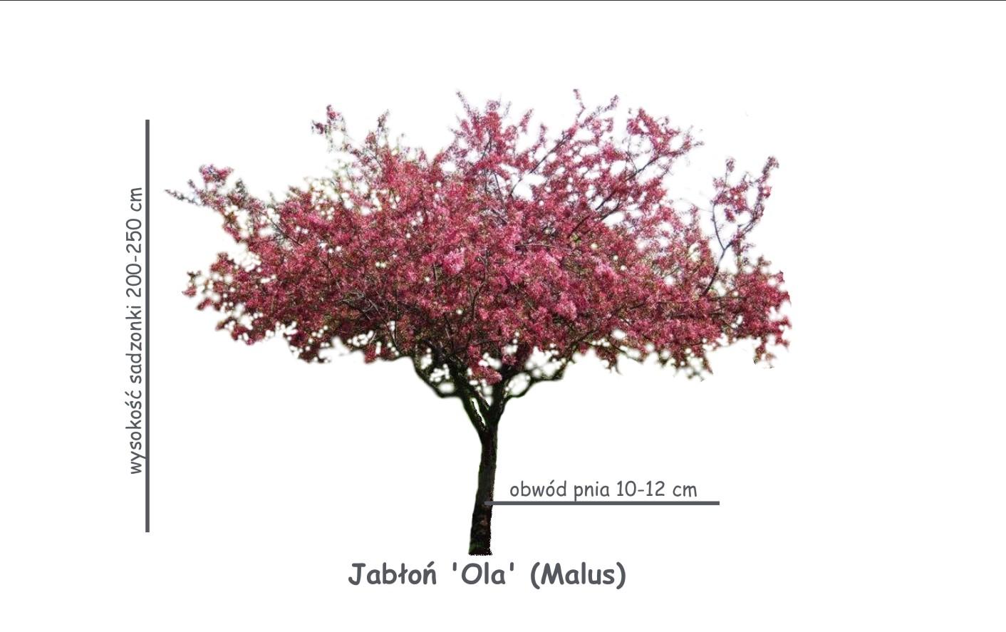 Jabłoń Ola (Malus) obwód pnia 10-12 cm, wysokość 200-250 cm.