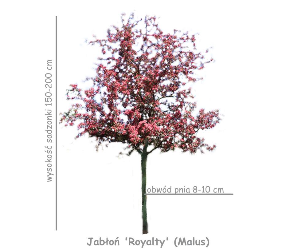 Jabłoń 'Royalty' sadzonka o wysokości 150-200 cm, obwód pnia 8-10 cm