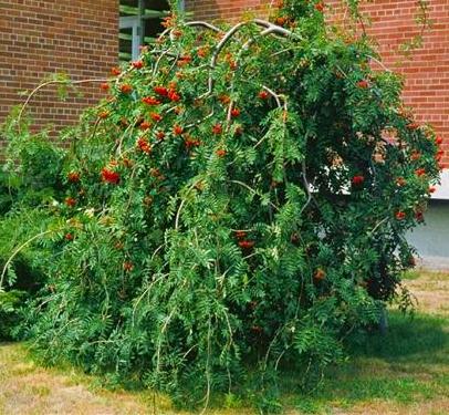 Jarząb pospolity 'Pendula' DUŻE SADZONKI Pa 200-250 cm, obwód pnia 8-10 cm  (Sorbus aucuparia) - Roslinowo.pl