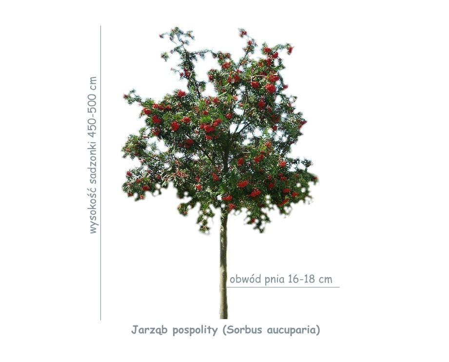 Jarząb pospolity (Sorbus aucuparia) sadzonka o obwodzie pnia 16-18 cm.