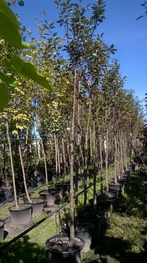 Jarząb szwedzki - duże sadzonki, wysokość od 250 cm