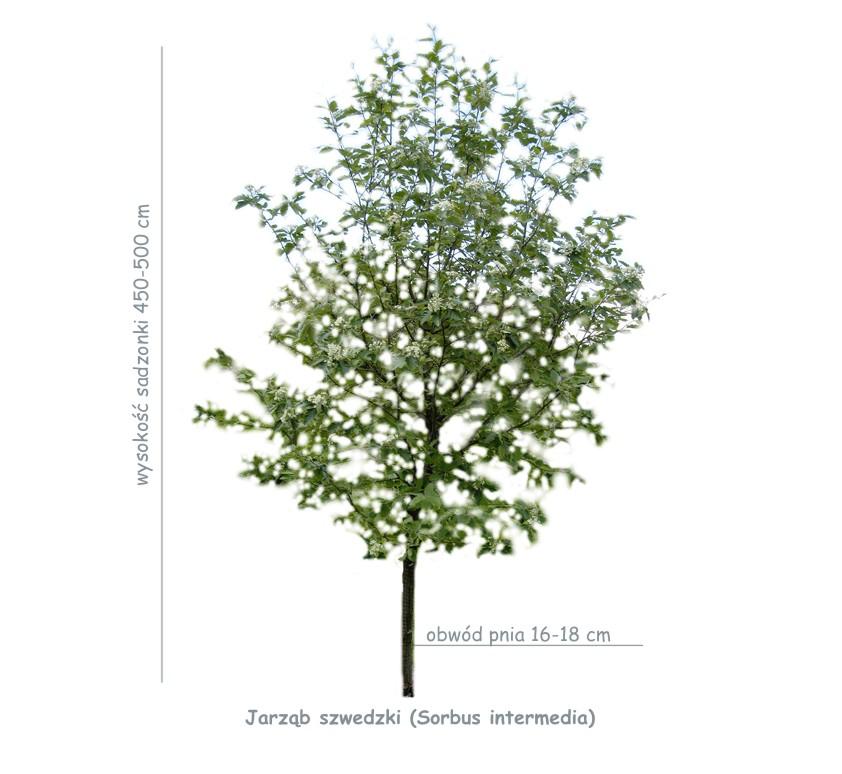 Jarząb szwedzki (Sorbus intermedia) sadzonka o obwodzie pnia 16-18 cm.
