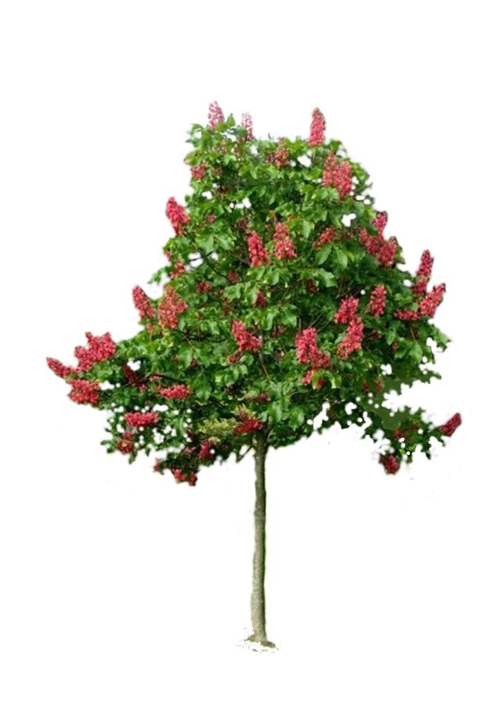 Kasztanowiec czerwony Briotti (Aesculus carnea)