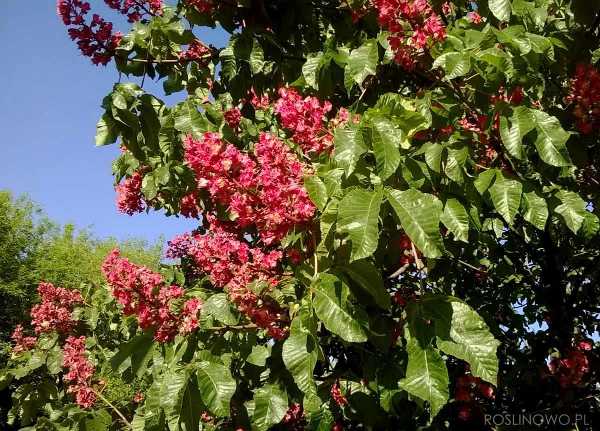 Czerwone kwiatostany kasztanowca czerwonego Briotti