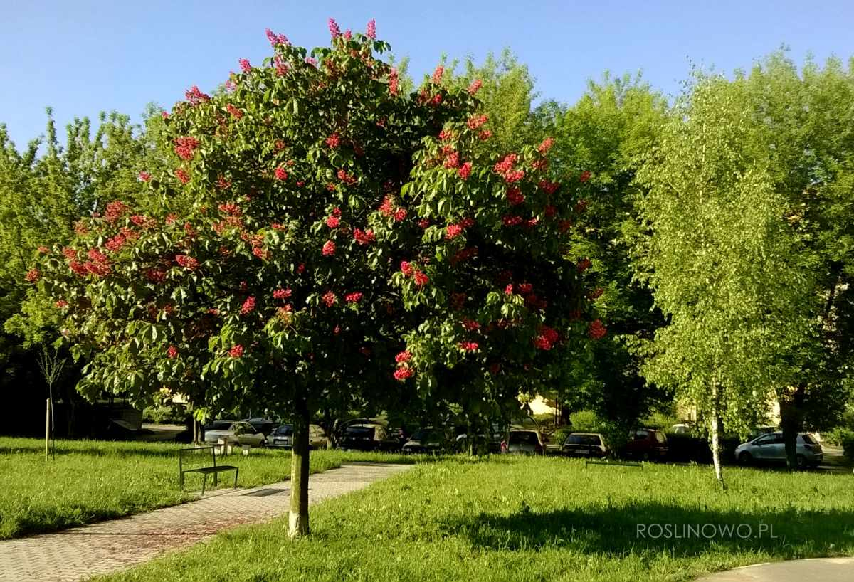 Kulisty pokrój kasztanowca czerwonego Briotti