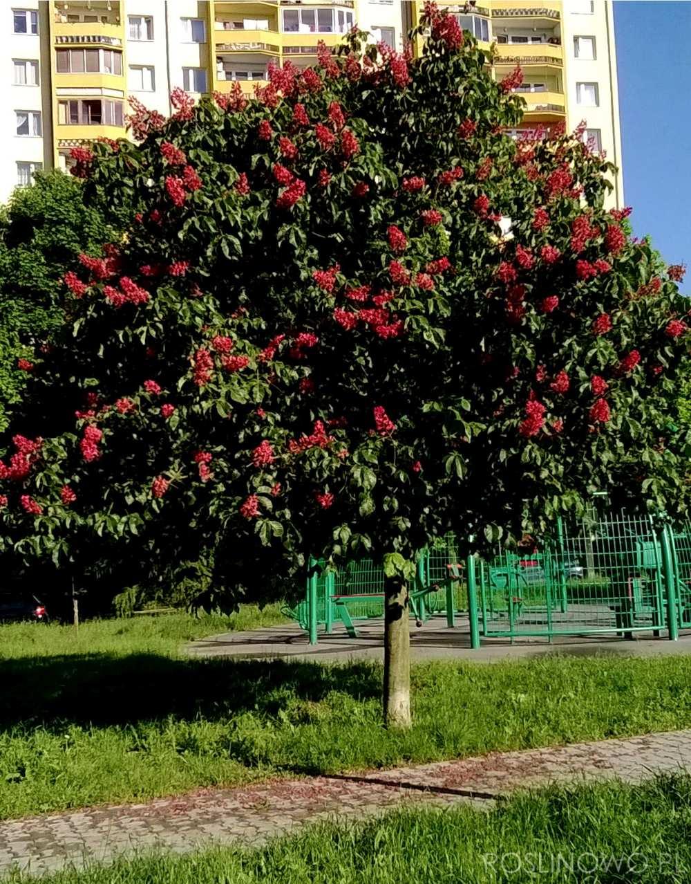 Kasztanowiec czerwony Briotti (Aesculus carnea) drzewo do miasta