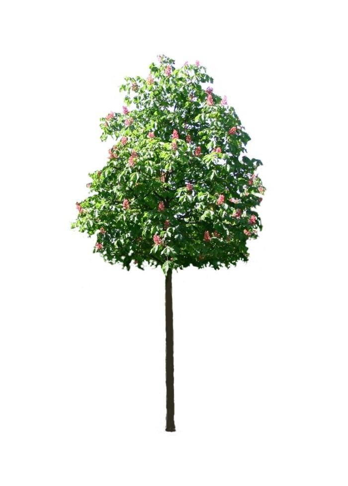 Sadzonka kasztanowca czerwonego Briotti