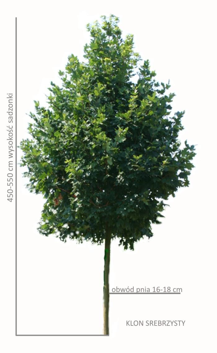 Klon srebrzysty, duże sadzonki drzew, wysokość 500-550, obwód pnia 16-18 cm
