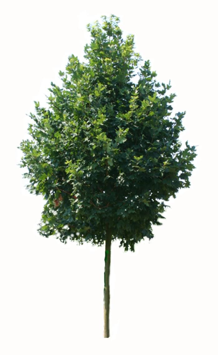 Klon srebrzysty (Acer saccharinum) duże sadzonki