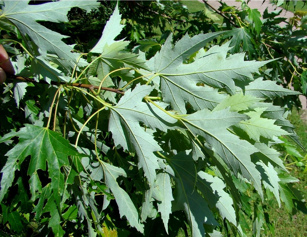 Klon srebrzysty (acer saccharinum) liście od spodu biało filcowane..