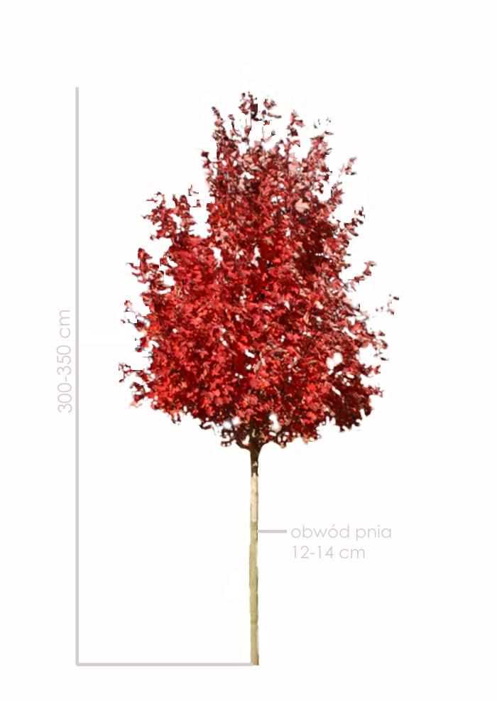 Klon czerwony Red Sunset duża sadzonka 300-350 cm wysokości.