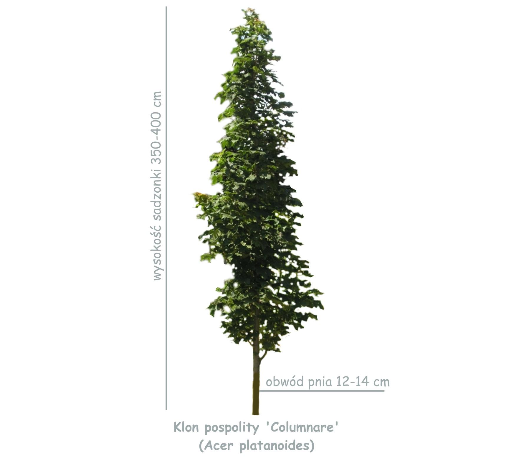 Klon pospolity 'Columnare' (Acer platanoides) sadzonka o obwodzie 12-14 cm