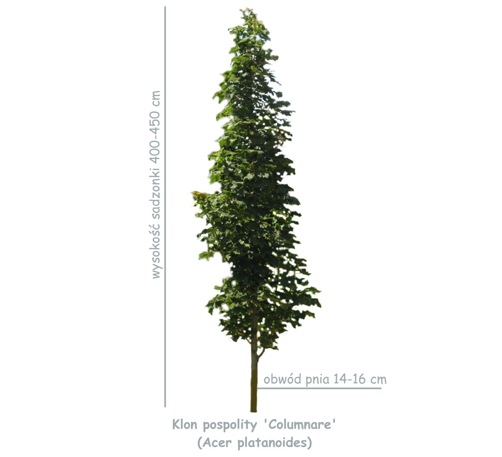 Klon pospolity 'Columnare' (Acer platanoides) sadzonka o obwodzie 14-16 cm