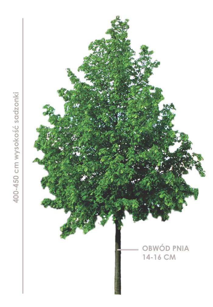 Lipa drobnolistna greenspire (tilia cordata) sadzonki 400-450 cm, obwód pnia 16-18 cm