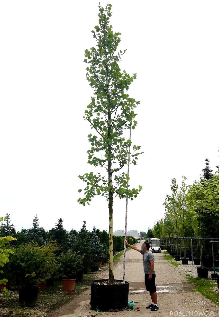 Sadzonka Platanu klonolistnego . Duże sadzonki drzew.