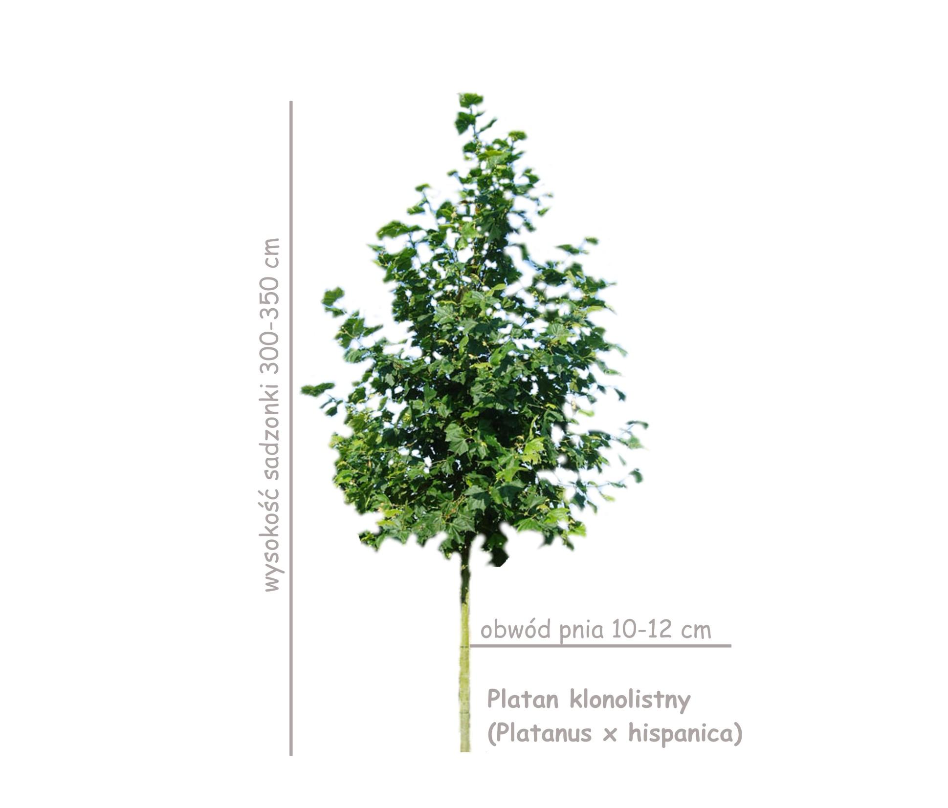 Platan klonolistny, sadzonka o obwodzie 10-12 cm, wysokość 300-350 cm