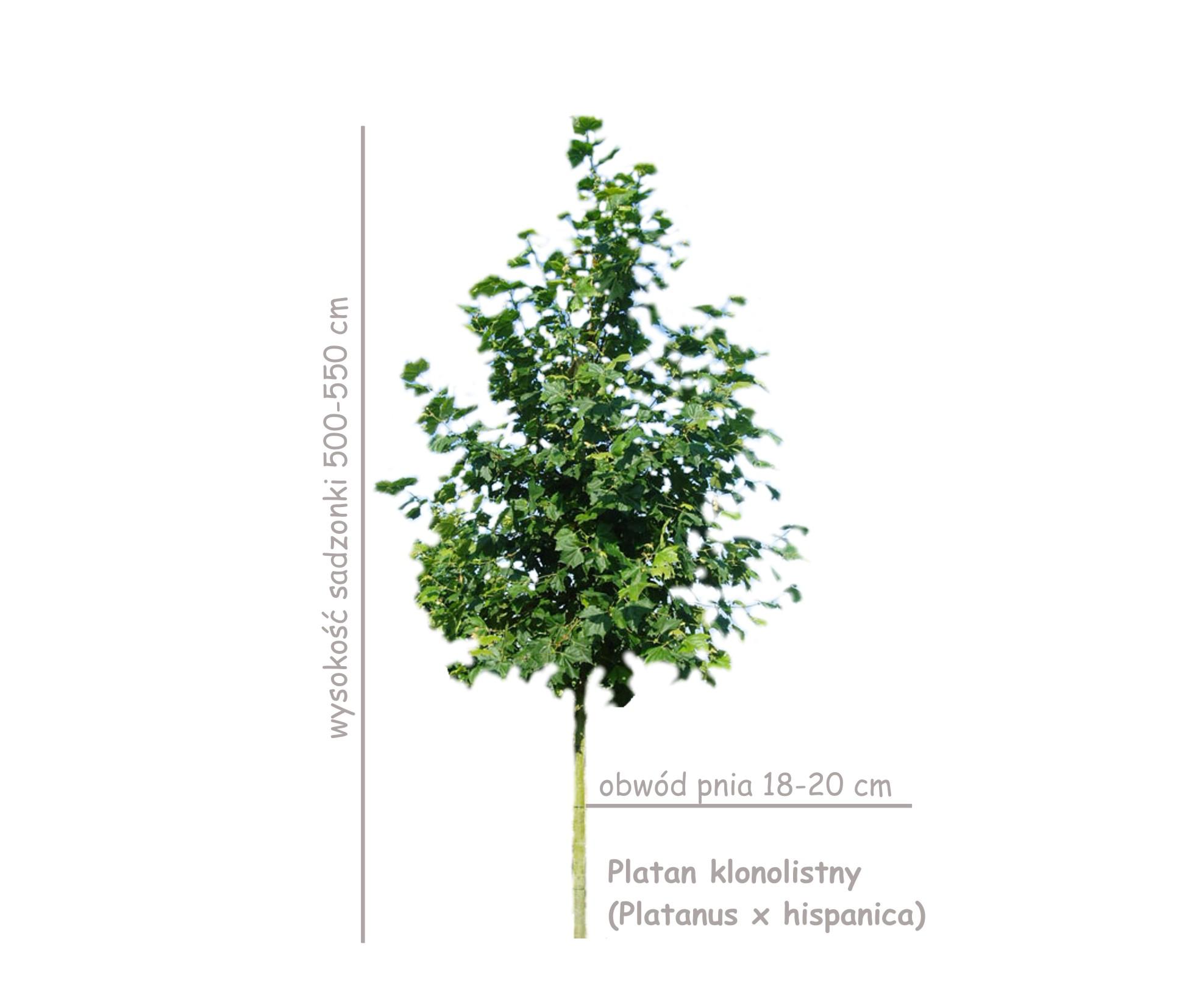 Platan klonolistny (Platanus x hispanica, acerifolia) sadzonki drzew