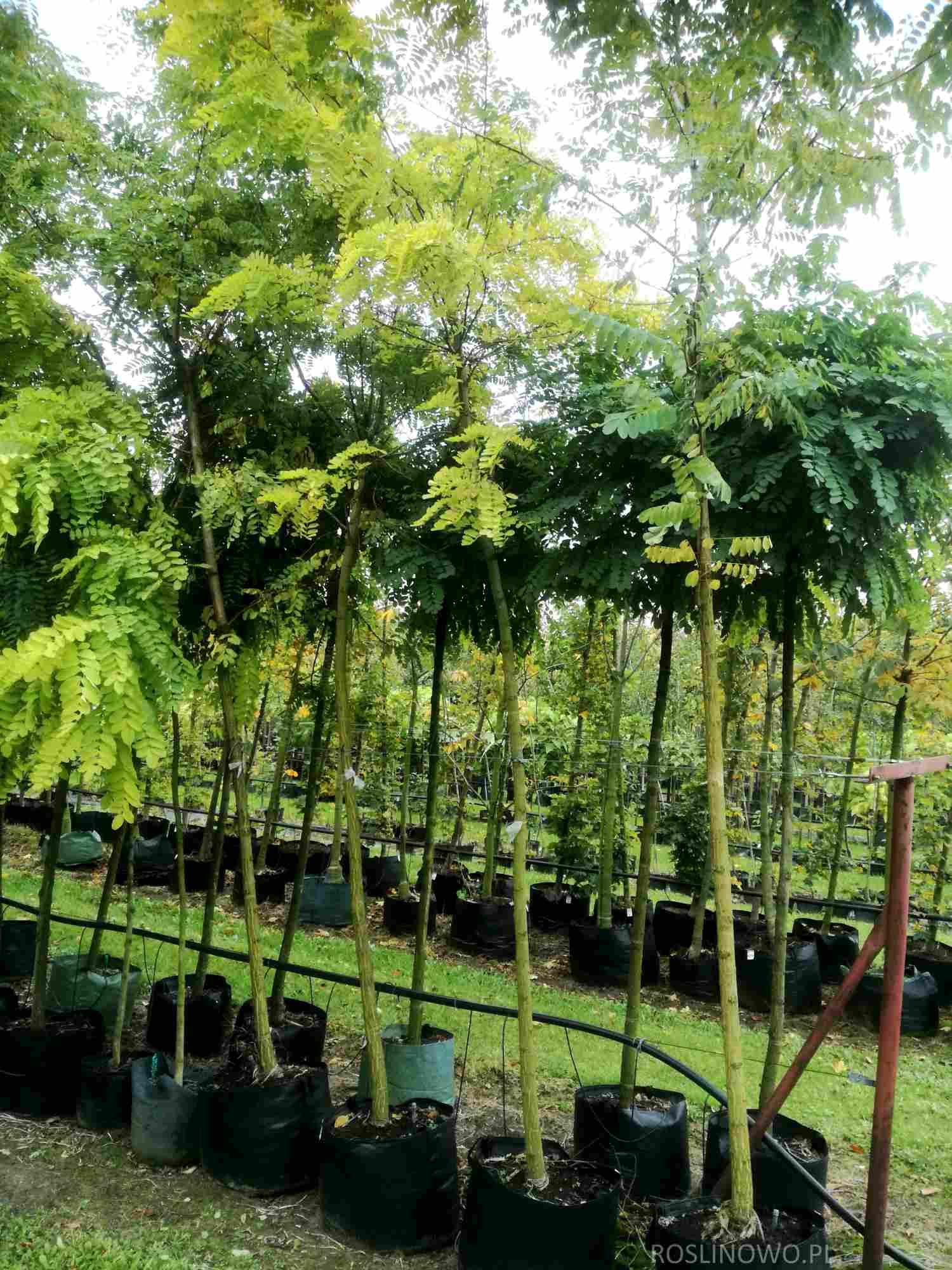 Sadzonki robinii akacjowej 'Frisia' o wysokości 350-450 cm, obwód 10-12 cm